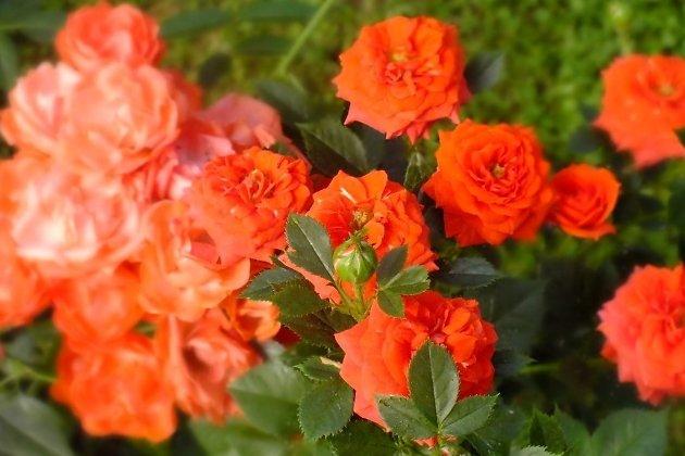 Розы в ботаническом саду