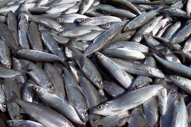 ВБратское море выпустят неменее 300 тыс. мальков омуля