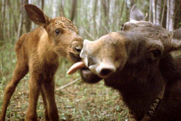 Загнанный лось стравмой колена скончался вИркутске