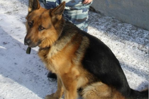 Служебный пёс Байкал отыскал ангарчанку, подозреваемую вранении своего знакомого ножом