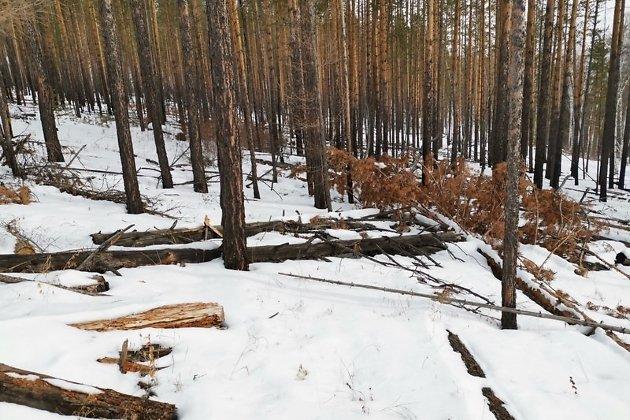 Место незаконной рубки в совсем молодом лесу. Ненужные остатки брошены прямо здесь