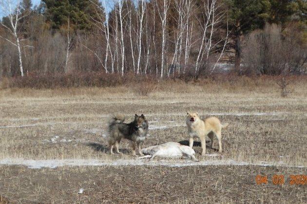 Собаки рядом с убитым ими дзереном