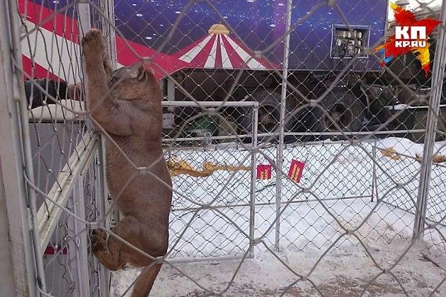 Пума Шера из читинского цирка