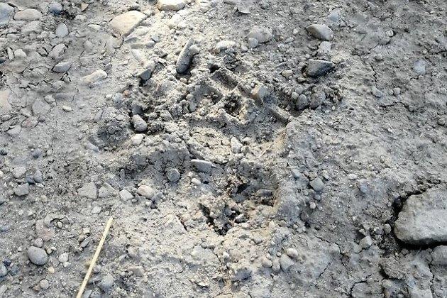 Следы медведя за Ингодой в Чите