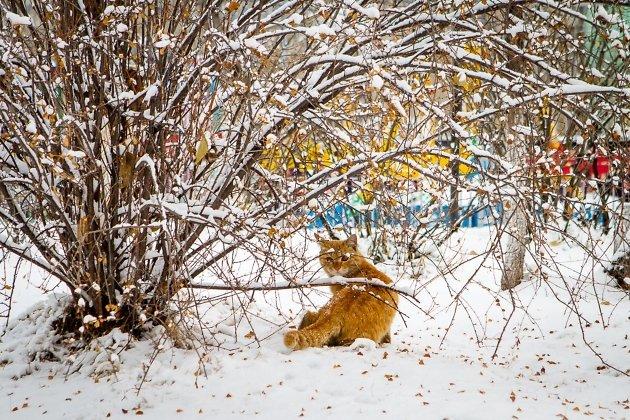 Рыжий охотник в поисках добычи