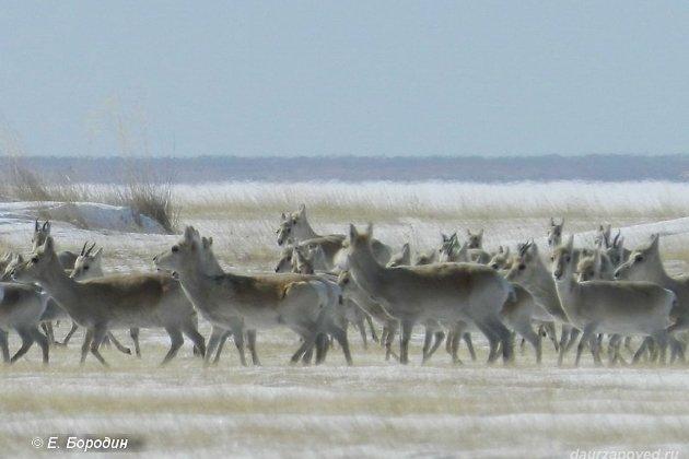 Названы причины миграции редчайших антилоп вЗабайкалье