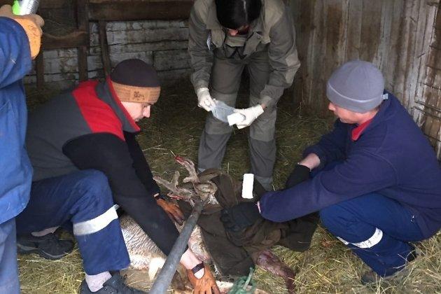 Спасатели поймали раненую сибирскую косулю