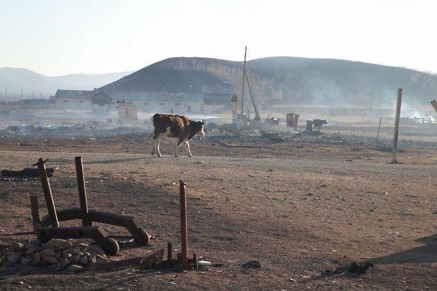 Корова среди руин села Шара, 20 апреля