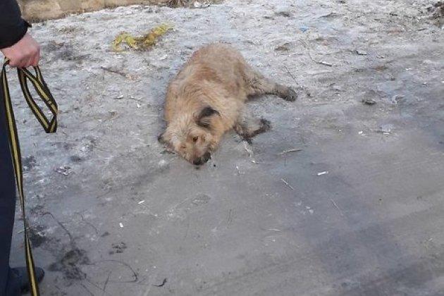 Собака после выстрела