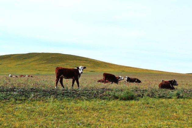 Племенные коровы одного из хозяйств Краснокаменского района