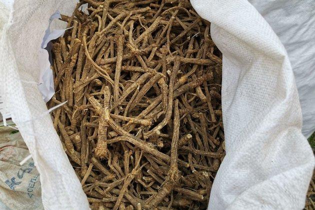 Незаконно добытые корни сапожниковии растопыренной