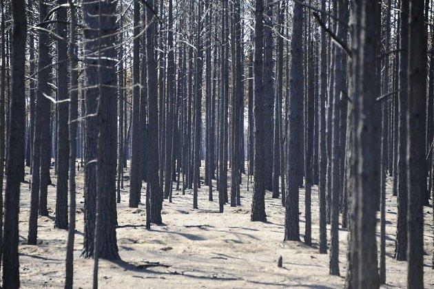 Выгоревший Цасучейский бор, где росла уникальная сосна Крылова.