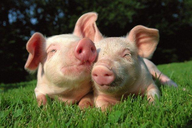 Компенсацию заизъятых свиней жителям Иркутского района обещают выплатить задве недели