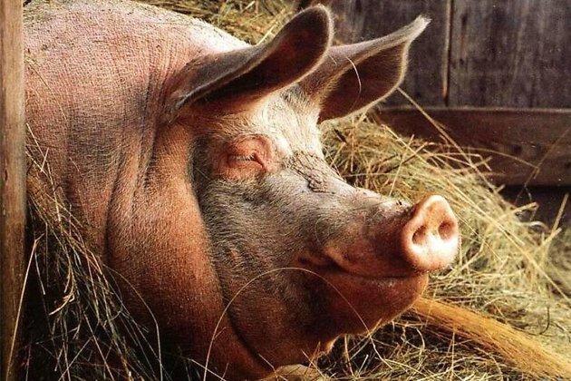 ВИркутском районе изъяли неменее тысяча свиней из-за вспышки африканской чумы
