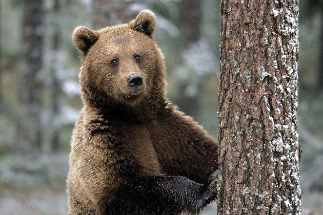 медведь, медведи