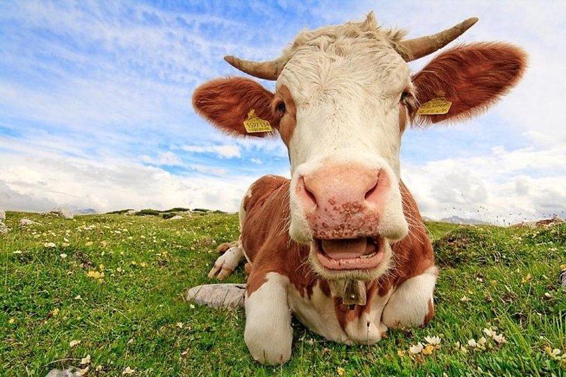 Корова картинка смешная